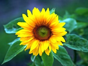 sun flower 1355385_640